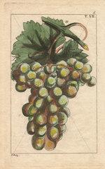 Traminar variety of grape  Vitis vinifera
