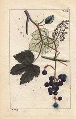 Blue grapes on vine  Vinis vitifera