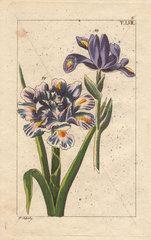 Blue Spanish iris  Iris xiphium  in half bloom and full bloom