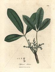 India rubber tree  elastic resin tree  Siphonia elastica