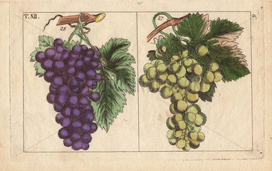 Blue and white muscat grapes  Vinis vitifera