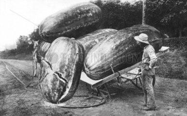 Riesenwassermelone