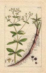 Yellow flowered dyer's madder  hairy root and fruit  Rubia tinctorum
