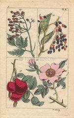 Elder berries and apple rose