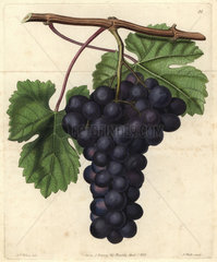 Cambridge Botanic Garden grape from John Lindley's Pomological Magazine 1828
