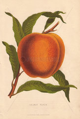 Ripe fruit and leaves of the Salway Peach  Prunus persica