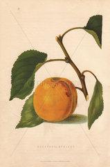 Ripe fruit and leaves of the Moorpark apricot  Prunus armeniaca