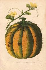 Scarlet fleshed rock melon  Cucumis melo var. cantalupensis
