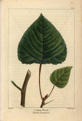 Cottonwood tree  Populus canadensis