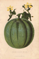 Green-fleshed melon  Cucumis melo