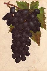 Ripe fruit and leaves of Madresfield Court Grape  Vitis vinifera