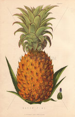 Ripe fruit and leaves of the Queen Pine  Ananas sativus