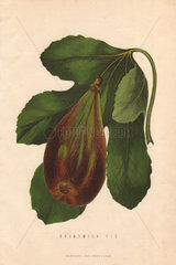 Ripe fruit and leaf of the Brunswick fig  Ficus carica