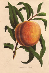 Ripe fruit and leaves of the Palmerston peach  Prunus persica