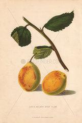 Ripe fruit and leaves of Coes Golden Drop Plum  Prunus domestica