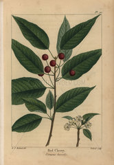 Red cherry tree  Cerasus borealis