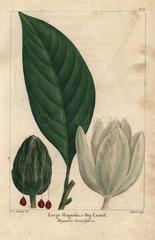 Large magnolia tree  big laurel  Magnolia grandiflora