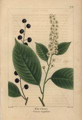 Wild cherry tree  Cerasus virginiana