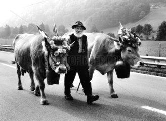Mann fuehrt zwei Kuehe auf der Strasse
