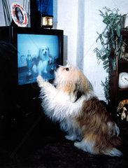 Hund schaut TV