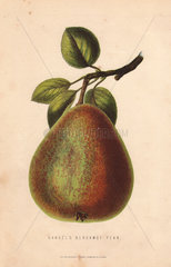 Ripe fruit and leaves of Gansel's bergamot pear  Pyrus persica