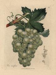 Green grapes  vine and leaves  Vitis vinifera