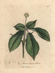 Yellow flowered ginseng plant  Panax quinquefolium