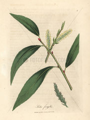 Leaves and catkins of the crack willow tree  Salix fragilis