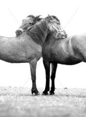 Pferdeverschlingung