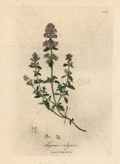 Pink flowered garden thyme  Thymus vulgaris