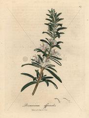 Light blue flowered rosemary  Rosmarinus officinalis