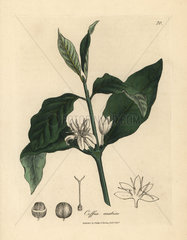 White flower  leaves and bean of the coffee plant  Coffea arabica