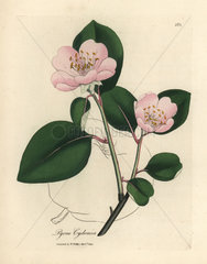 Pink flowered quince tree  Pyrus cydonia
