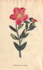 Cross-leaved chironia  Chironia decussata