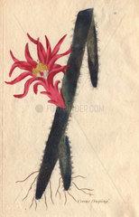 Creeping cereus  Cactus flagelliformis