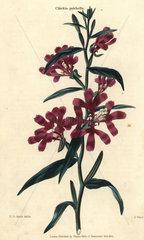 Wine-colored pinkfairies  Clarkia pulchella