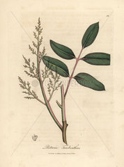 Leaves and flowers of the chian tree or Cyprus turpentine tree  Pistacia terebinthus