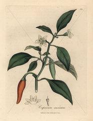 White flowered  scarlet guinea pepper  Capsicum annuum