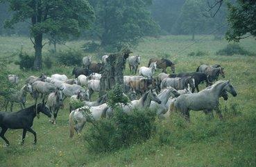 Herde wilder Pferde