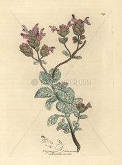 Lilac flowered dittany of Crete  Origanum dictamnus