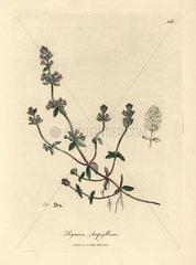 Purple flowered wild thyme  Thymus serpyllum
