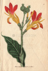 Common Indian reed  Canna indica