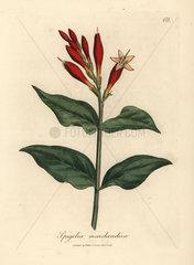 Scarlet flowered Indian pink  Spigelia marilandica