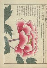 Single large pink and white peony flower. Paeonia suffruticosa