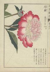 Single  large pink and white peony flower. Paeonia. Shakuyaku.