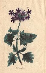 Rose vervain  Verbena aubletia