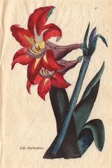 Barbadoes lily  Amaryllis equestris