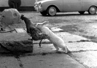 Hase versucht mit Henne zu kopulieren