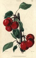 Ripe crimson Siberian Crab cherries  Prunus species