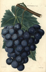 Bunch of grapes and vine leaf of the Black Hamburg grape